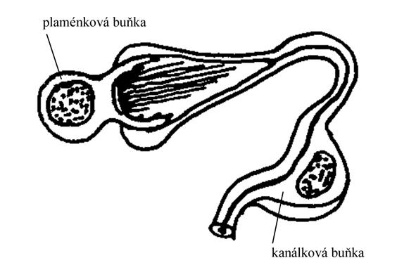 http://www.zoologie.frasma.cz/mmp%200205%20plostenci/Obr.020502.protonefridie_zmensenina.jpg